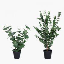 Konstväxt Eucalyptus