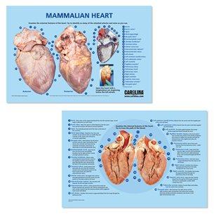 Dissektionsmatta - Hjärta