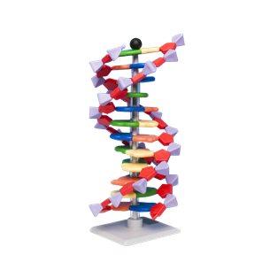 DNA, Modellsats - elev