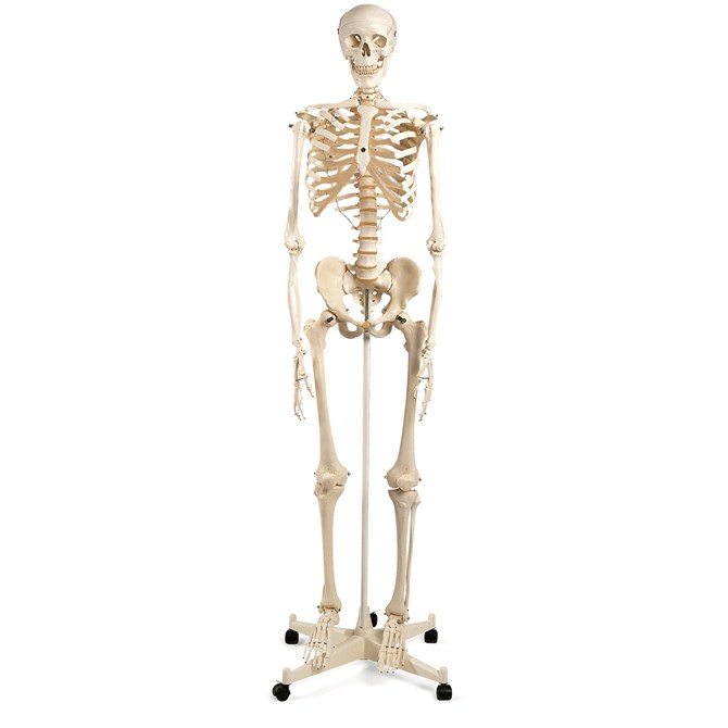 Skelett - Maxi, Naturlig storlek