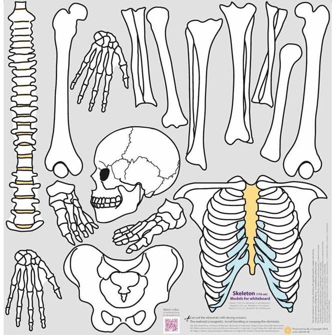 Skelett - Magnetiska modeller