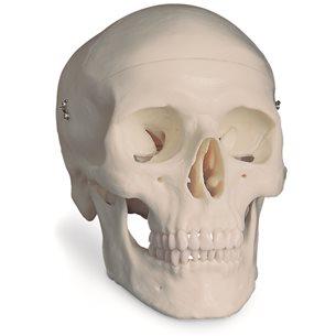 Kranium - Naturlig storlek, 3B