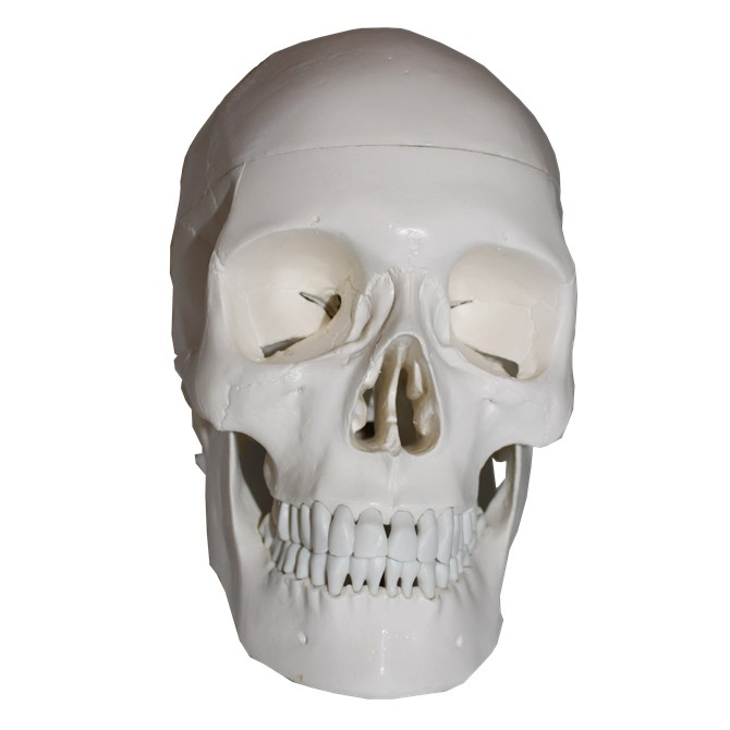 Kranium - Naturlig storlek