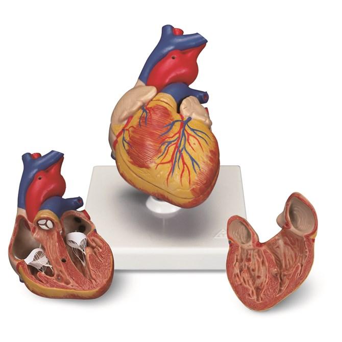 Hjärta - naturlig storlek