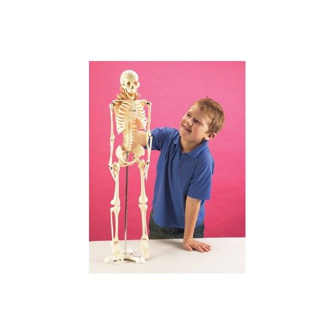 Skelett - mindre