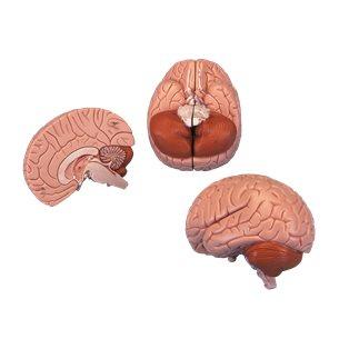 Hjärna - Naturlig storlek
