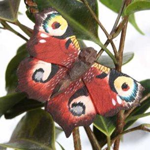 Fjäril - Påfågelöga