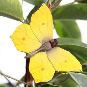 Fjäril - Citronfjäril