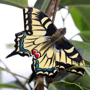 Fjäril - Riddarfjäril