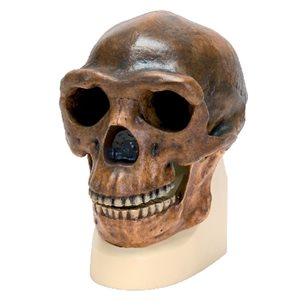 Homo Erectus (Pekingmänniskan) - Kraniumkopia