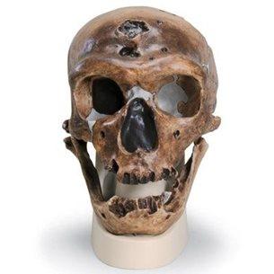 Homo Neanderthalensis - Kraniumkopia