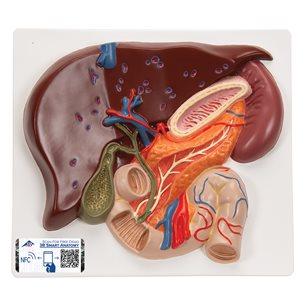 Levermodell med gallblåsan, bukspottkörteln och tolvfingertarmen - 3B Smart