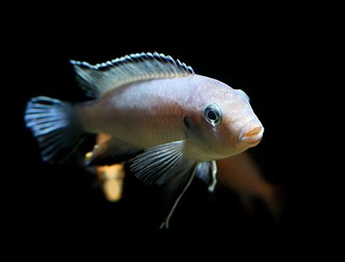Labidochromis caeruleus ciklid