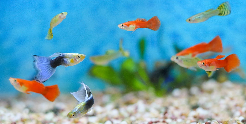 starta nytt akvarie fisk guppy