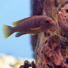 ciklid i nytt akvarium