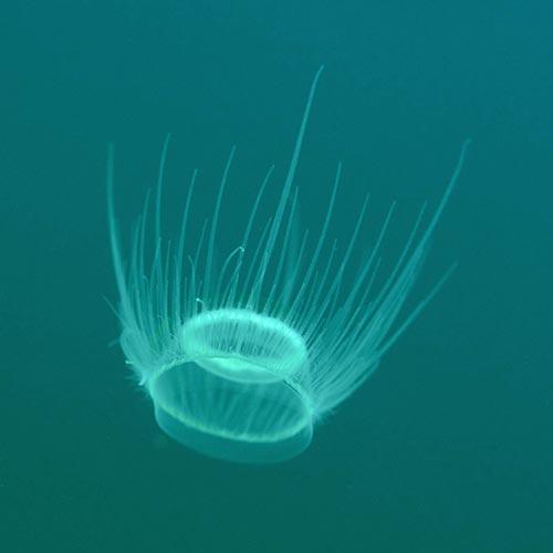 Limnocnida tanganyicae