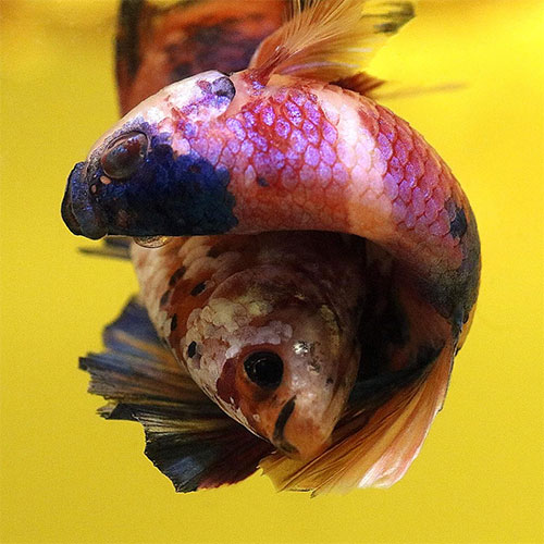 kampfisk lek