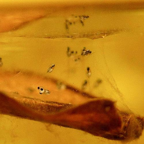 odla kampfisk yngel