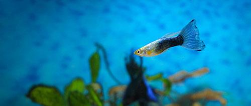 Guppy i akvarium med blå bakgrund