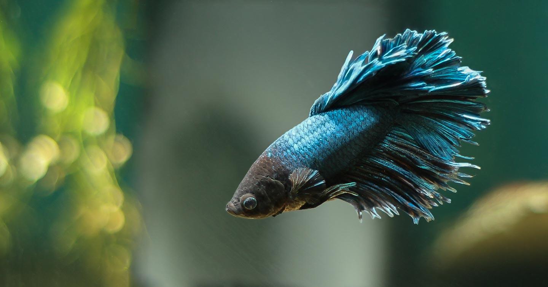 blå kampfisk