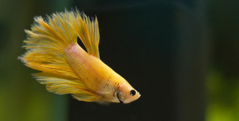 gul kampfisk