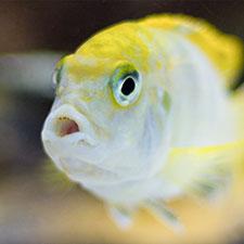 gul akvariefisk i karantän