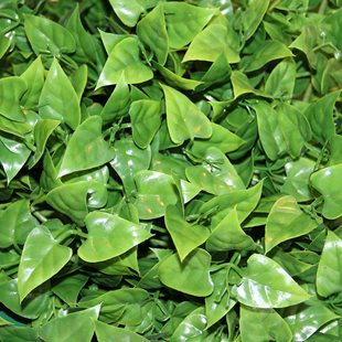 Terra-Exotica - Evergreen Vine - Large
