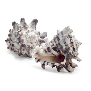 Snäckskal Vasum cornigerum 3-6 cm - 6 st