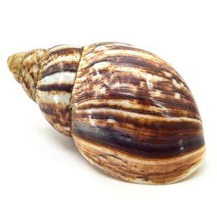 Polerat snigelskal - 12-16 cm - 1 st