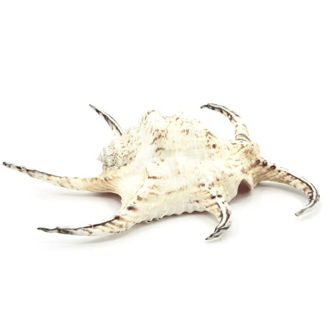 Snäckskal Lambis chiraga - ca. 20 cm - 1 st