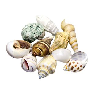 Hobby - Sea Shell Set - M - Ciklidsnäckor