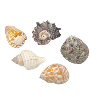 Hobby - Sea Shell Set - L - Ciklidsnäckor