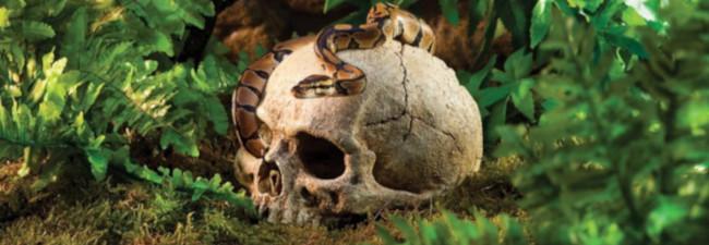 Skelett - Kranium